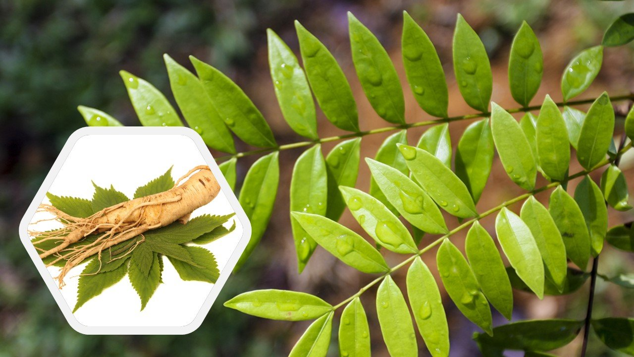 Tongkat Ali vs Panax Ginseng Review –  Which is better?